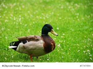 Die quakende Ente